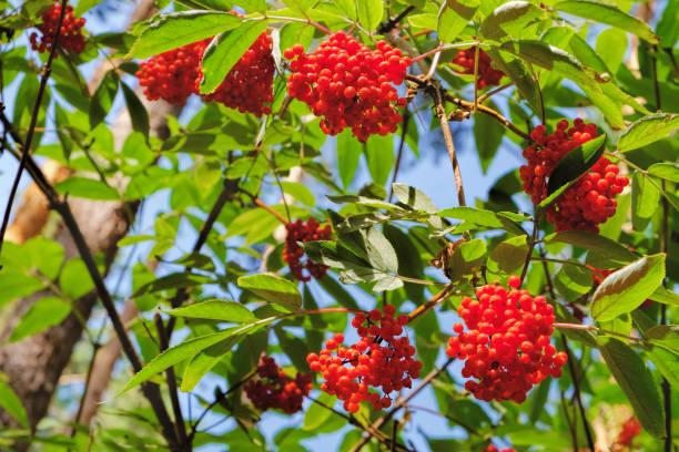 roter holunder oder sambucus racemosa im wald - roter holunder stock-fotos und bilder