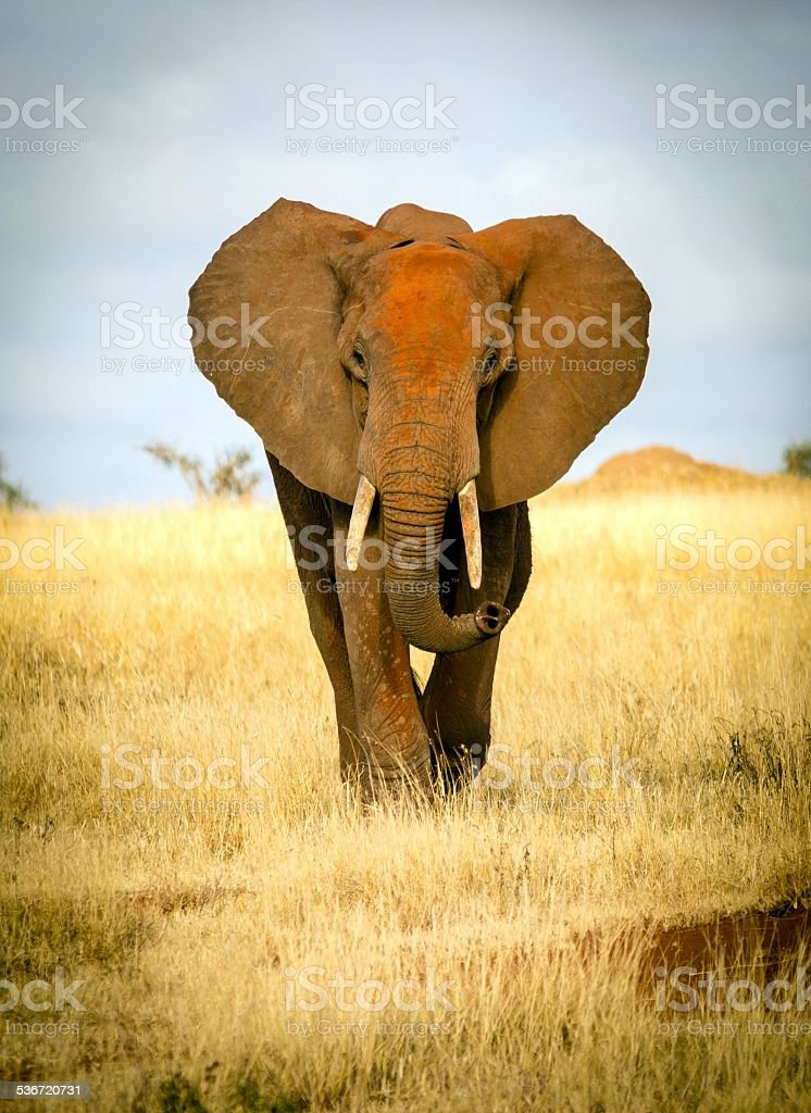 Red elephant approaching stock photo