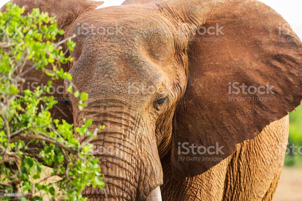 Red elephant in Tsavo East National Park. Kenya. stock photo