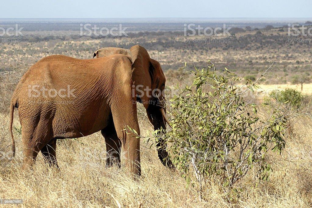 레드 코끼리 보이는 차보 랑선 royalty-free 스톡 사진
