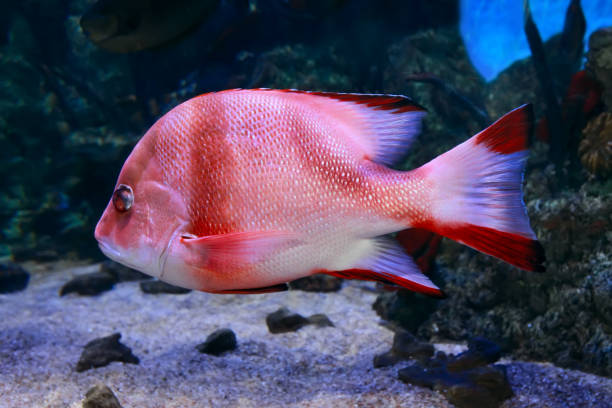 Red Emperor Snapper, lutjanus sebae, close up stock photo