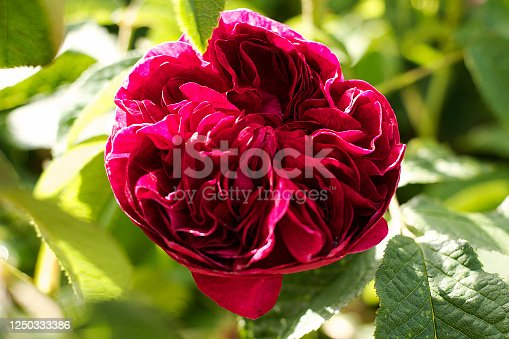English Rose in Gloucestershire