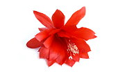 Epiphyllum orchid cactus red flower isolated on white background