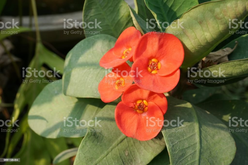 red Euphorbia milii flower in nature garden - Royalty-free Blossom Stock Photo