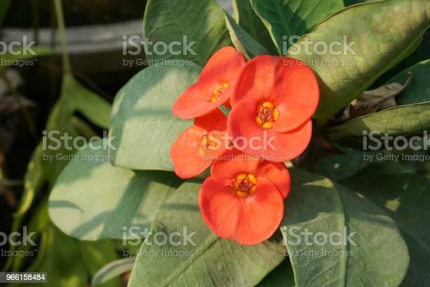 Röd Euphorbia Milii Blomma I Natur Trädgård-foton och fler bilder på Blomkorg - Blomdel