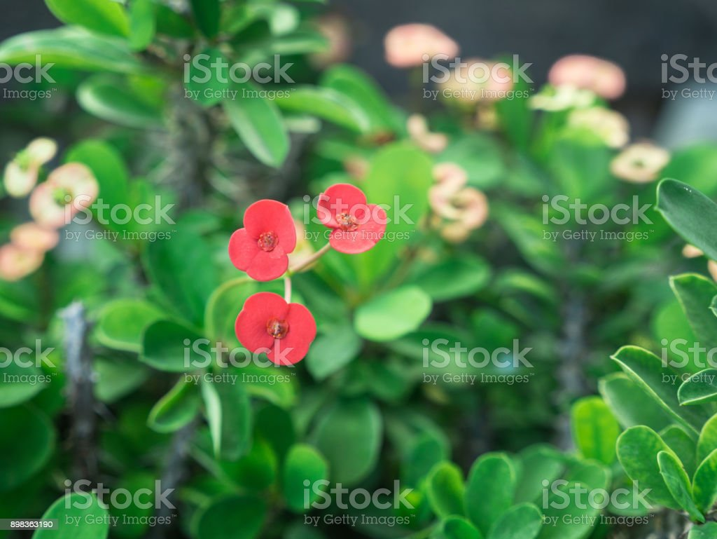 Red Euphorbia milii Flowers Blooming stock photo