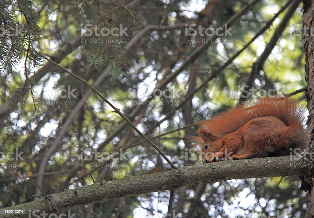 Red Eurasian squirrel sitting on the tree stock photo