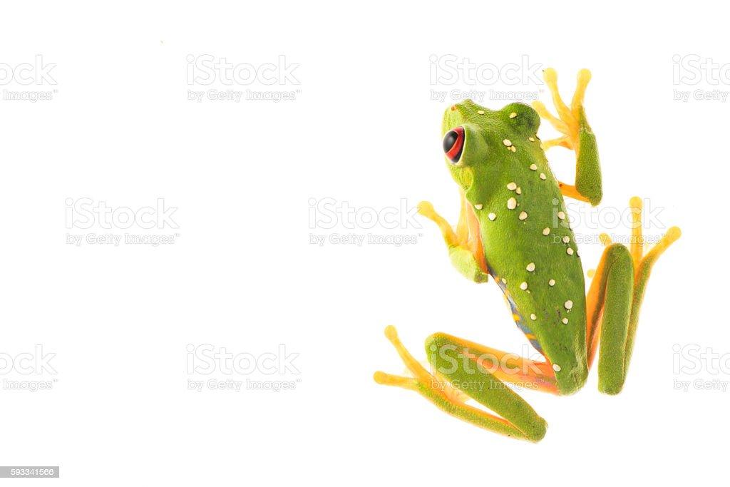 Red Eye Frog 12 stock photo