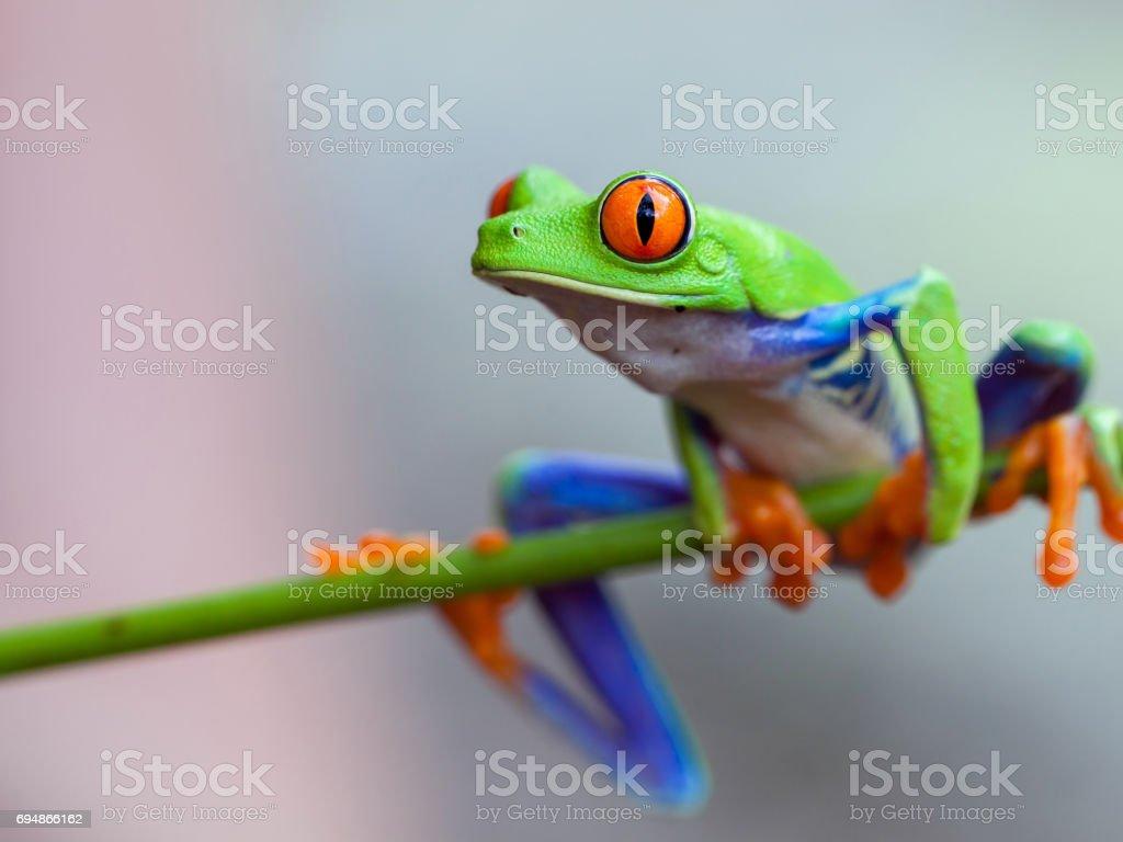 Red eye frog stock photo
