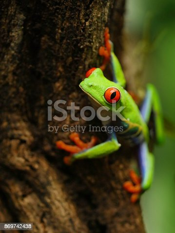 istock Red Eye Tree Frog climbing in Costa Rica 869742438