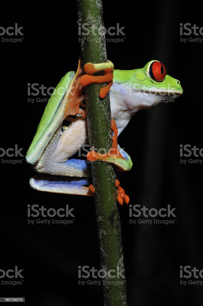 Red Eye Tree Frog, nocturnal animal on bamboo, Costa Rica royalty-free stock photo