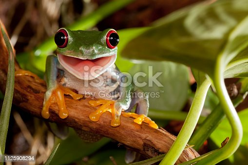 istock Red eye tree frog sitting on the branch and smiling 1125908294