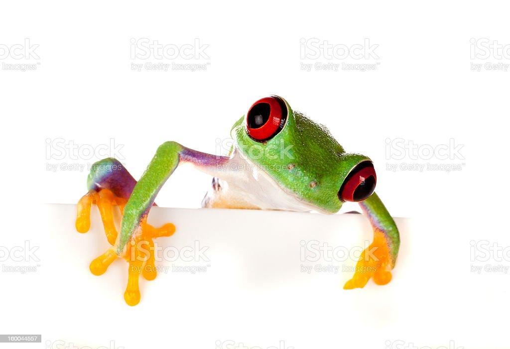 Red eyed frog peeping stock photo