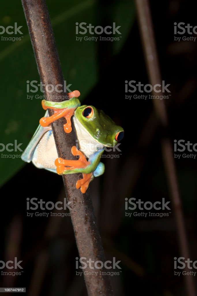 Red Eyed Tree Frog Face on Close Up at Night stock photo