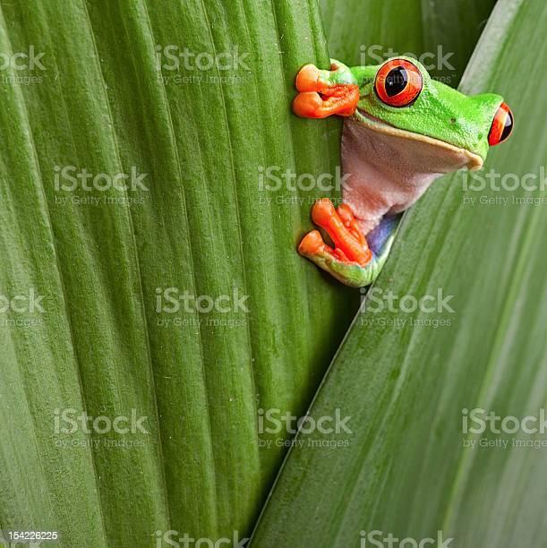 Red eyed tree frog looking curious picture id154226225?b=1&k=6&m=154226225&s=612x612&h=tqszswam6kq mectsay1cnroqslov5xj8zu2tw5j9k4=
