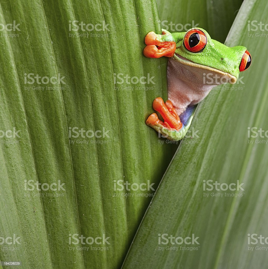 red eyed tree frog looking curious stock photo