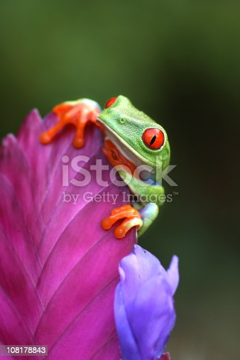 Red Eyed Tree Frog Looking Over a Flower  [url=http://www.istockphoto.com/file_search.php?action=file&lightboxID=6833833] [img]http://www.kostich.com/frogs.jpg[/img][/url]  [url=http://www.istockphoto.com/file_search.php?action=file&lightboxID=10814481] [img]http://www.kostich.com/rainforest_banner.jpg[/img][/url]