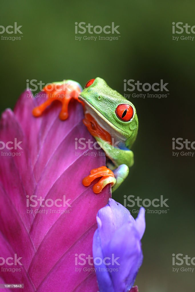Red Eyed Tree Frog Looking Over a Flower stock photo
