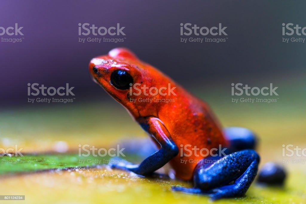 Red eyed tree frog near Centro Ecologico Los Guatuzos, Nicaragua stock photo