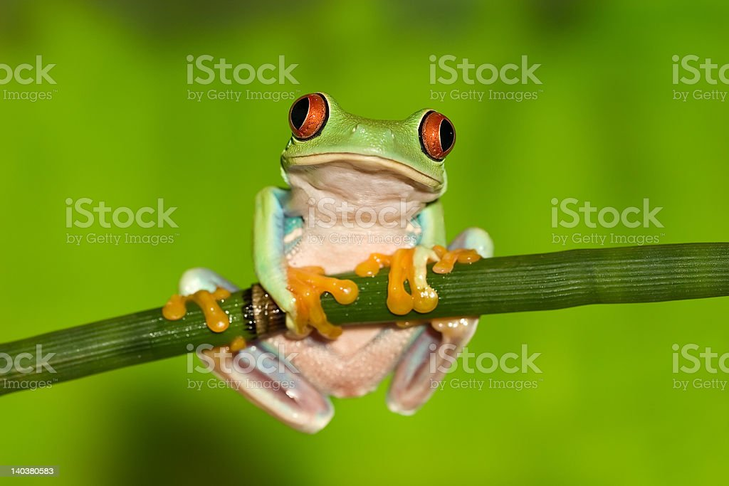 Red Eyed Tree Frog on Branch stock photo