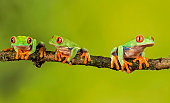 istock Red Eyed Tree Frog 1047039262