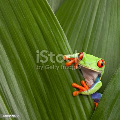 istock red eyed tree frog 153855372