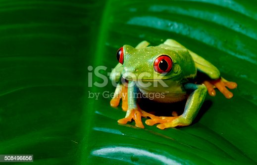 Tree Frog on Giant Leaf