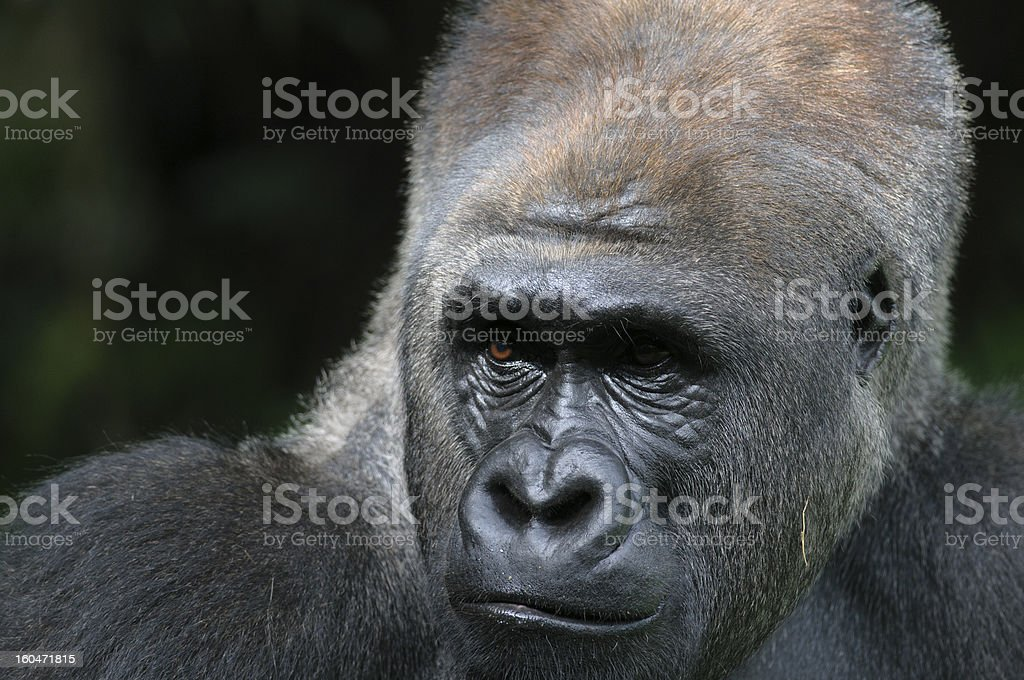 Red eyes of silverback royalty-free stock photo