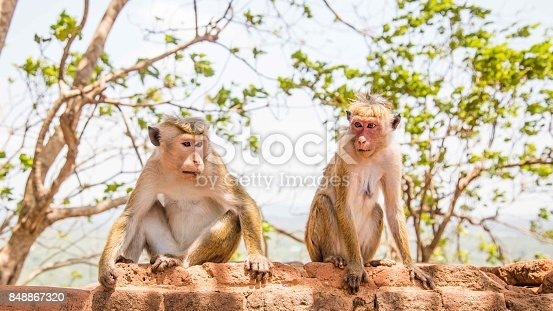 Red faces macaque (Macaca fuscata) on top of the  SIgiriya mountain in Sri Lanka