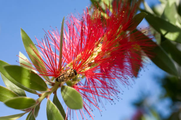 Red fairy duster flower, Callistenom montanus and bee, close up. stock photo