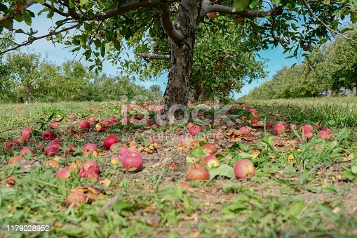 Apple Orchard tree trunk, red fallen apple on the ground