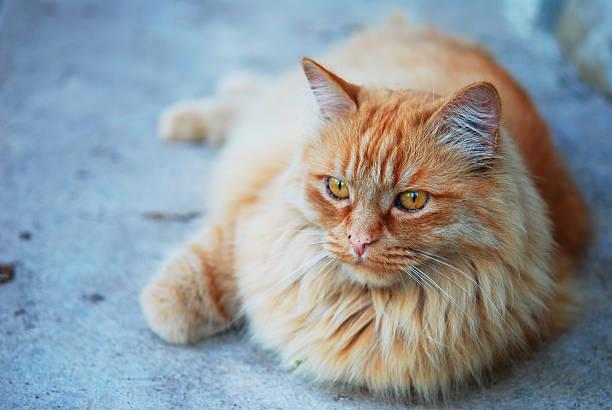 Red fat cat in the street picture id485868338?b=1&k=6&m=485868338&s=612x612&w=0&h=zclxebuiygsxd3xpnjqevws rtsk8cbms ijksjgidc=