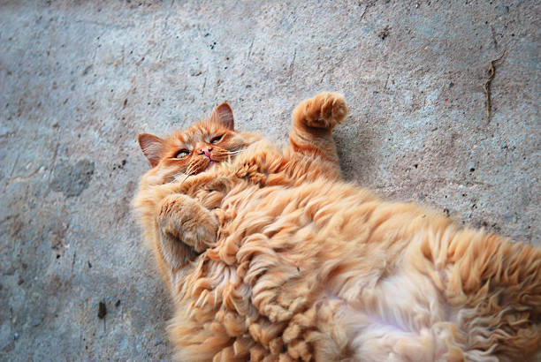 Red fat cat lying on his back on the pavement picture id485653528?b=1&k=6&m=485653528&s=612x612&w=0&h=cfitypj3o4ijnrjxv7tkz9xf4c39b6og6giqhd0b5ns=