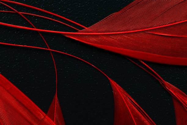 Red feather – Foto