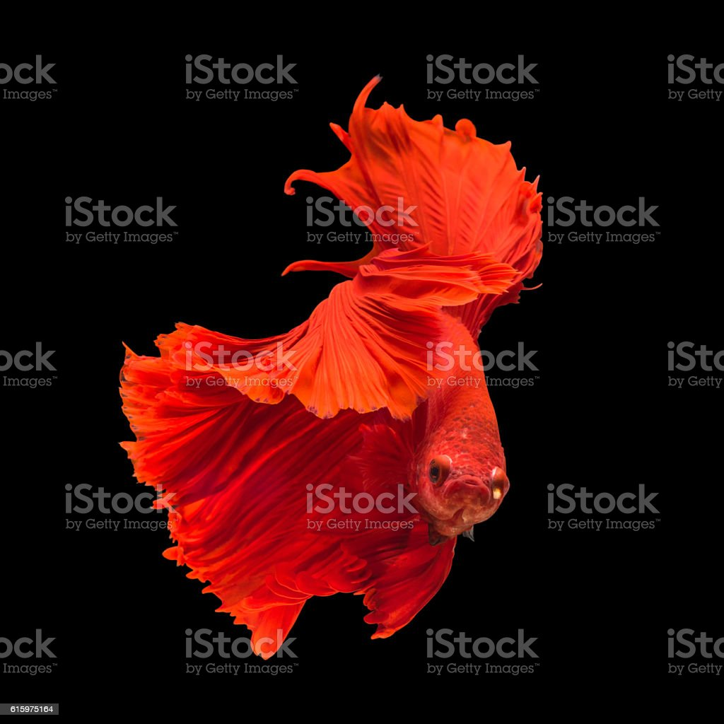 Red fighting fish on black background stock photo