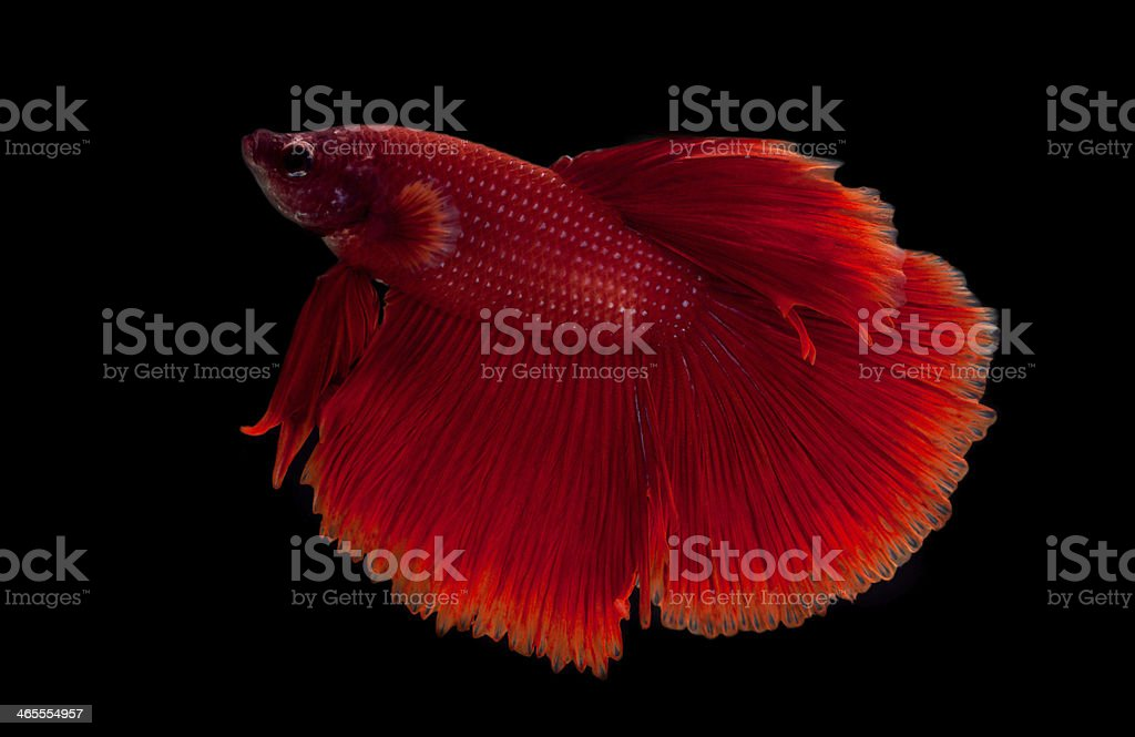 red fighting fish royalty-free stock photo