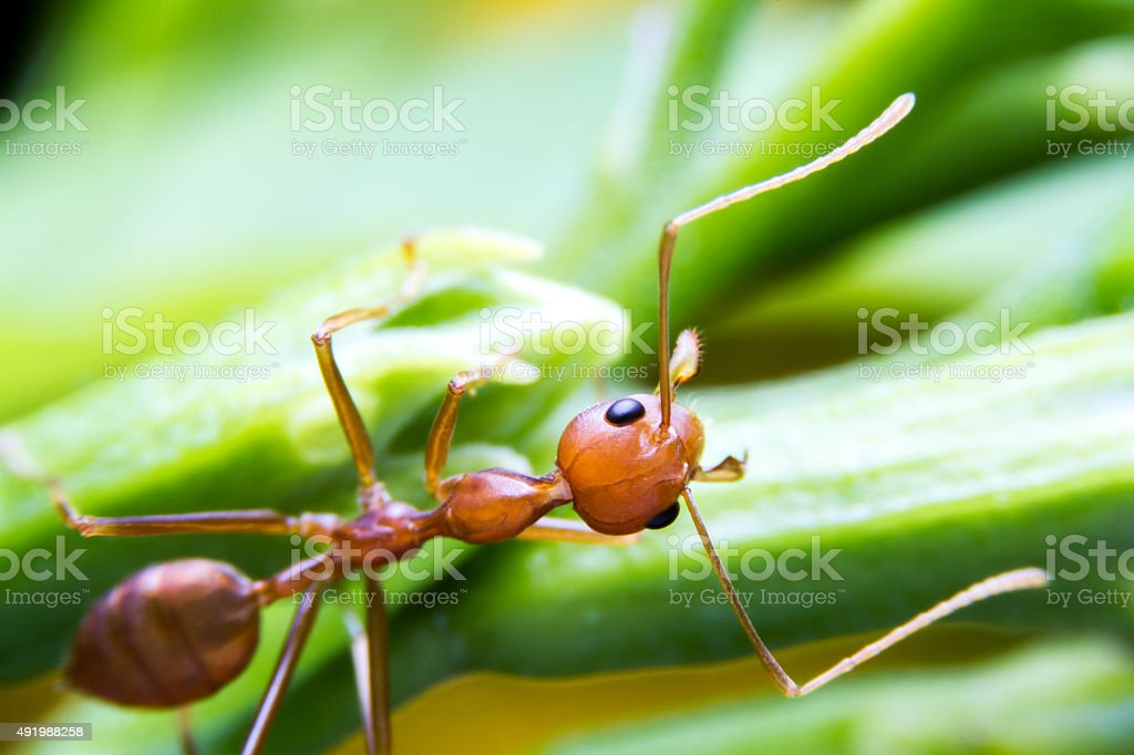 red fire ant worker on tree. closeup stock photo