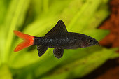 Red Fire Tail Shark Catfish Epalzeorhynchos bicolor aquarium fish isolated