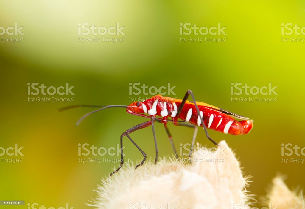 Red firebug on natural background stock photo