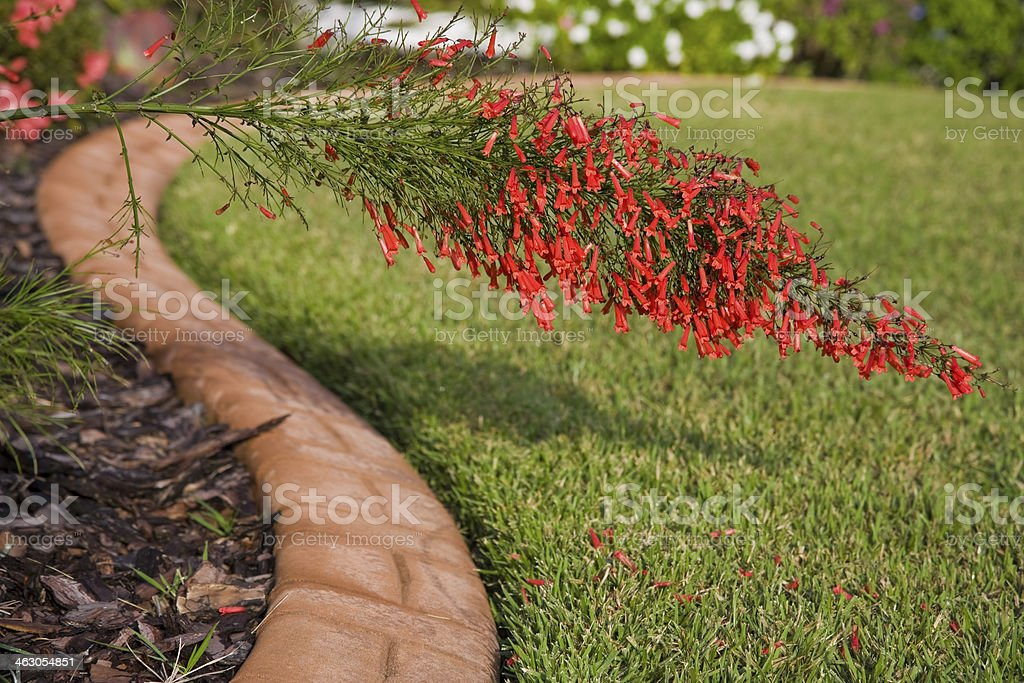 Red Firecracker Bush. stock photo