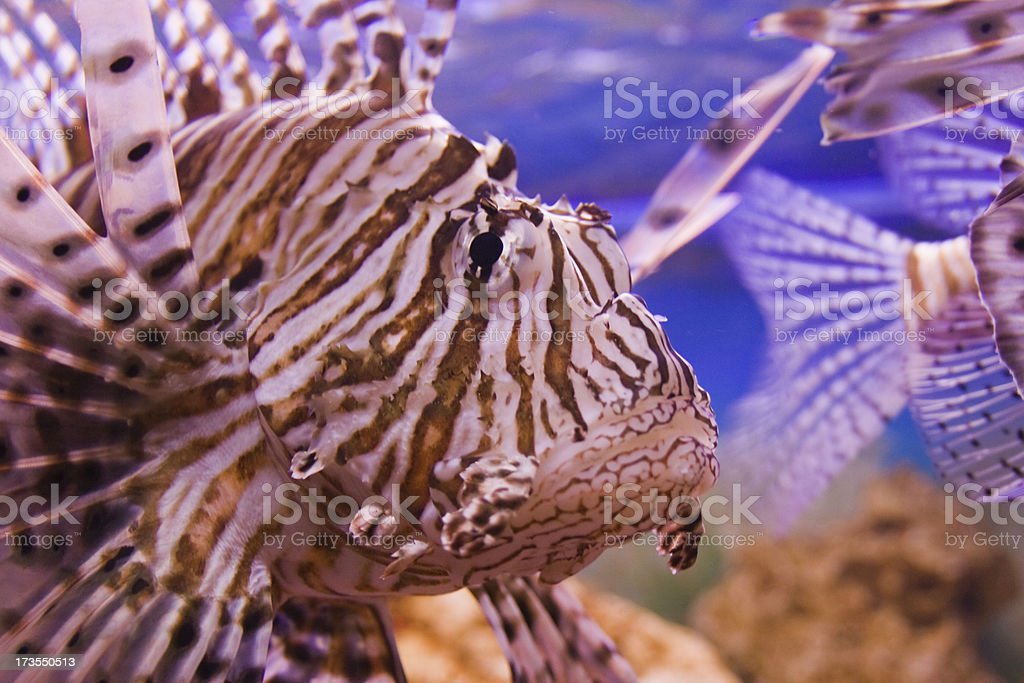 Red Firefish detail stock photo