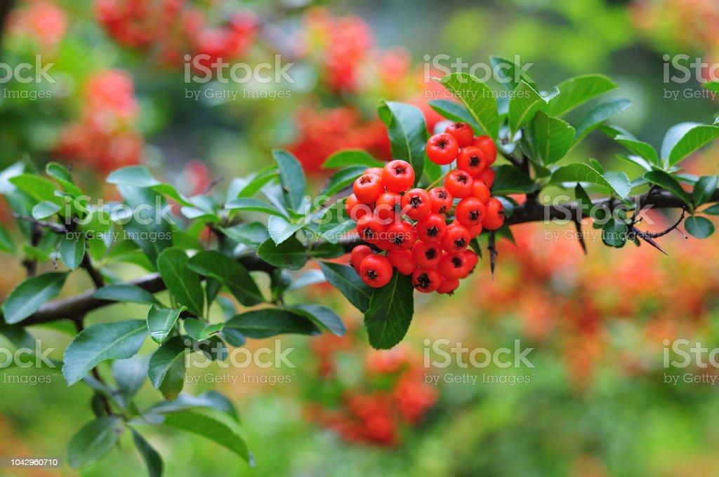 fruits rouges firethorn - Photo