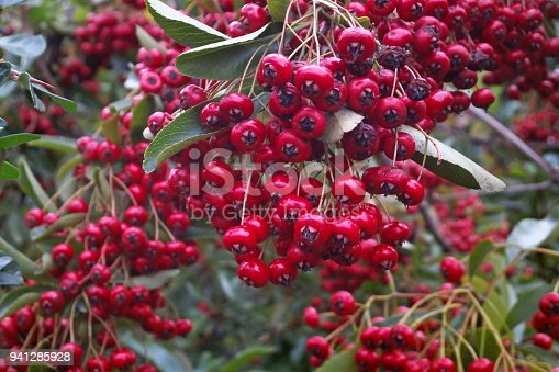 Close-up on a Pyracantha branch with red berry-like pomes.