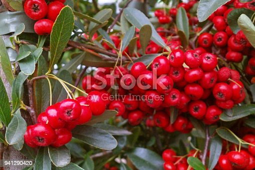 Pyracantha branch with red berry-like pomes.