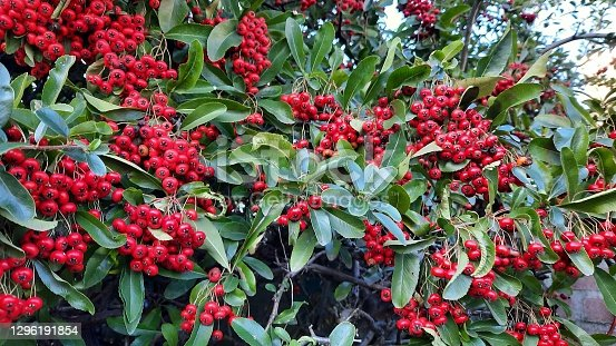 Red firethorn Pyracantha coccinea with red berries and green leaves in winter.