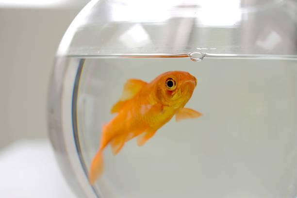 roter fisch golden poisson rouge - sich im kreis drehen stock-fotos und bilder