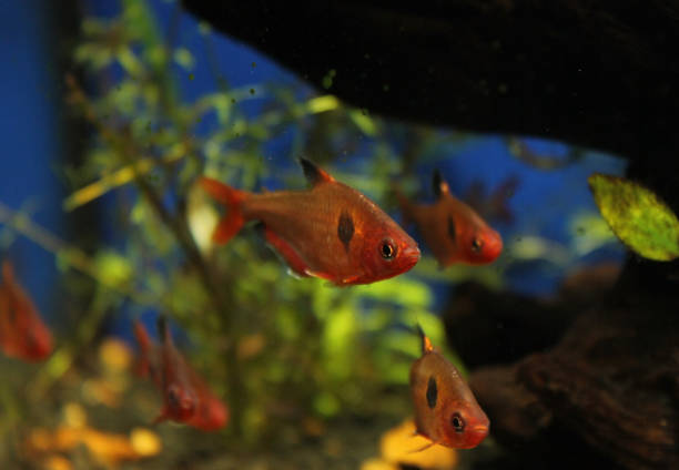 Red Fish in a Fishtank