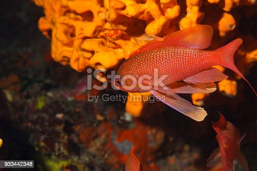 istock Red fish Sea life Underwater  Scuba diver point of view Mediterranean sea 933442348