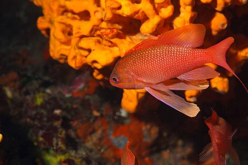 istock Red fish Sea life Underwater  Scuba diver point of view Mediterranean sea 933442348