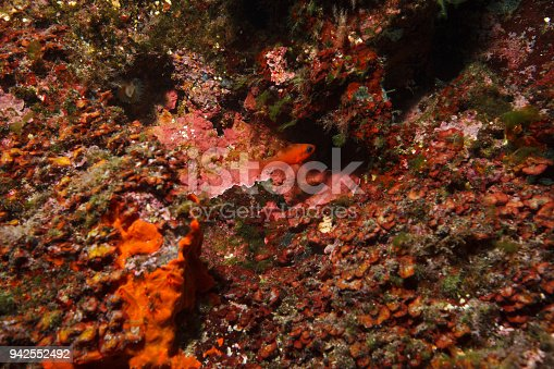 istock Red fish Sea life Underwater  Scuba diver point of view Mediterranean sea 942552492